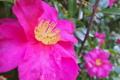 [山茶花][サザンカ][ツバキ科][たき火][ピンク色の花]山茶花