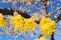 [蝋梅][ロウバイ][ろうばいの郷][ロウバイ科][黄色い花]蝋梅
