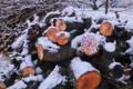 [梅畑][剪定][梅林][雪][積雪]梅畑