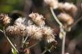 [ツワブキ][キク科][綿毛][石蕗][庭園]ツワブキ