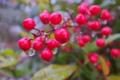 [ナンテン][南天][メギ科][庭木][赤い実]ナンテン