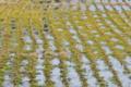 [田んぼ][水田][田園][冬期堪水][棚田]田んぼ