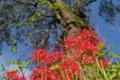 [ヒガンバナ][彼岸花][しだれ桜][赤い花][妙義神社]ヒガンバナ