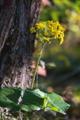 [ツワブキ][キク科][社務所][黄色い花][妙義神社]ツワブキ