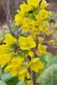[菜の花][白菜畑][ハクサイ][アブラナ科][黄色い花]菜の花