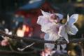 [冬桜][厳島神社][弁天池][聖徳皇太子][妙義神社]冬桜