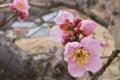 [紅梅][梅畑][ウメ畑][梅林][ピンク色の花]紅梅