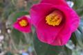 [ツバキ][椿][ツバキ科][カメリア][ピンク色の花]ツバキ