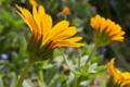 [ヒメキンセンカ][キク科][金盞花][冬知らず][黄色い花]ヒメキンセンカ