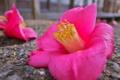 [椿][落椿][ツバキ科][カメリア][ピンク色の花]椿
