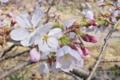 [桜][サクラ][桜前線][桜並木][ソメイヨシノ]桜