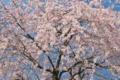[桜][サクラ][しだれ桜][シダレザクラ][枝垂桜]桜