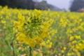 [菜の花畑][菜の花][アブラナ科][花畑][寒の戻り]菜の花畑
