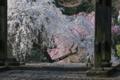[桜][しだれ桜][枝垂桜][シダレザクラ][妙義神社]桜