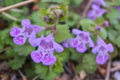 [カキドオシ][垣通し][シソ科][カントリソウ][紫色の花]カキドオシ