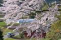 [桜][サクラ][山麓][街道][集落]桜