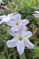 [ハナニラ][ヒガンバナ科][花韮][南米産][白い花]ハナニラ