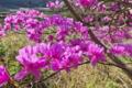 [ミツバツツジ][ツツジ科][集落][山麓][ピンク色の花]ミツバツツジ