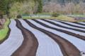 [コンニャク畑][土壌消毒][マルチシート][山間][蒟蒻]コンニャク畑