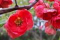 [ボケ][バラ科][木瓜][朝霧][赤い花]ボケ