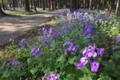 [参道][オオアラセイトウ][アブラナ科][ムラサキハナナ][紫色の花]参道
