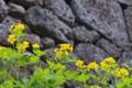 [クサノオウ][ケシ科][黄色い花][妙義神社]クサノオウ