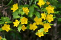 [ヤマブキ][バラ科][山吹][山吹色][黄色い花]ヤマブキ