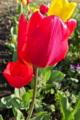 [チューリップ][ユリ科][鬱金香][花壇][赤い花]チューリップ