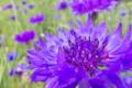 [ヤグルマギク][キク科][ヤグルマソウ][麦畑][青い花]ヤグルマギク