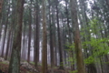 [スギ林][スギ][杉林][杉][霧]スギ林