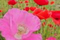 [ポピー][ケシ科][休耕田][ピンク色の花][赤い花]ポピー