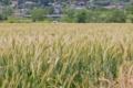 [麦畑][麦][麦穂][むぎ][ムギ]麦畑