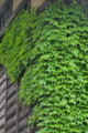 [ツタ][ブドウ科][蔦][壁面緑化][廃屋]ツタ