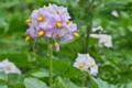 [ジャガイモ畑][ナス科][馬鈴薯][ジャガイモ][紫色の花]ジャガイモ畑