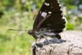 [ダイミョウセセリ][セセリチョウ科][雑木林][黒い蝶]ダイミョウセセリ