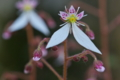 [ユキノシタ][ユキノシタ科][大の字][白い花][妙義神社]ユキノシタ