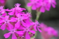 [ムシトリナデシコ][ナデシコ科][撫子][なでしこ][ピンク色の花]ムシトリナデシコ