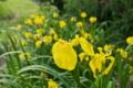 [キショウブ][アヤメ科][帰化植物][菖蒲][黄色い花]キショウブ