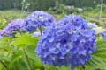 [紫陽花][アジサイ][あじさい][梅雨][入梅]紫陽花