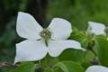 [ヤマボウシ][ミズキ科][山法師][総包片][白い花]ヤマボウシ