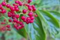 [ニワトコ][スイカズラ科][接骨木][果実酒][赤い実]ニワトコ