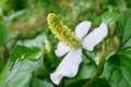 [ドクダミ][ドクダミ科][どくだみ茶][総苞][白い花]ドクダミ