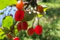 [ナツグミ][グミ科][果実酒][庭木][赤い実]ナツグミ