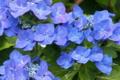 [紫陽花][アジサイ][あじさい][雨][青い花]紫陽花