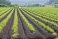 [コンニャク畑][こんにゃく][蒟蒻][蒟蒻畑][こしね]コンニャク畑