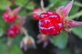 [ナワシロイチゴ][バラ科][苗代苺][キイチゴ][赤い実]ナワシロイチゴ