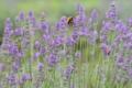 [ラベンダー][シソ科][トラマルハナバチ][グロッソ][紫色の花]ラベンダー