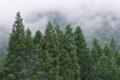 [スギ林][スギ][杉][植林地][大桁山]スギ林