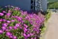 [マツバギク][松葉菊][ツルナ科][集落][ピンク色の花]マツバギク