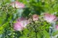 [ネムノキ][マメ科][合歓木][街路樹][ピンク色の花]ネムノキ